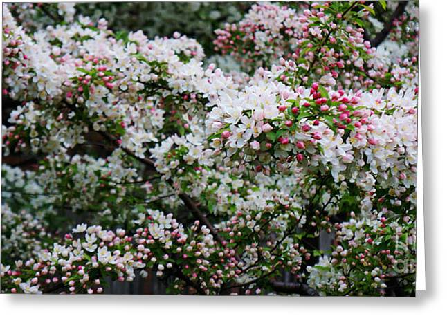 Cherry Blossoms Greeting Card by Celestial Images