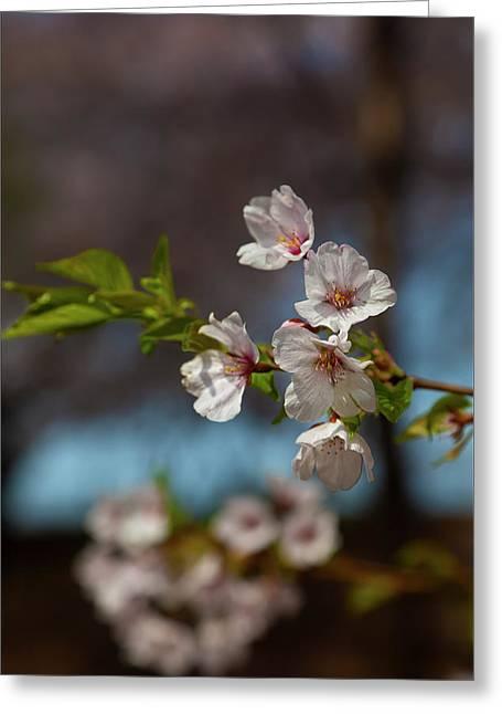 Cherry Trees Greeting Card by Robert Ullmann