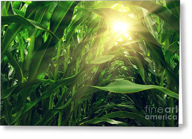 Corn Field Greeting Card