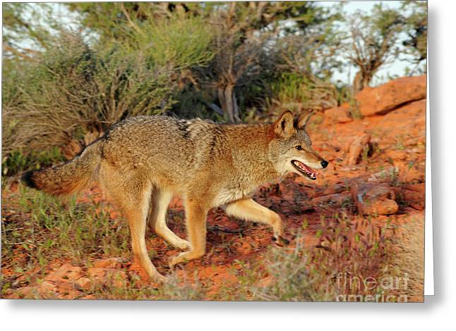 Coyote Greeting Card by Dennis Hammer