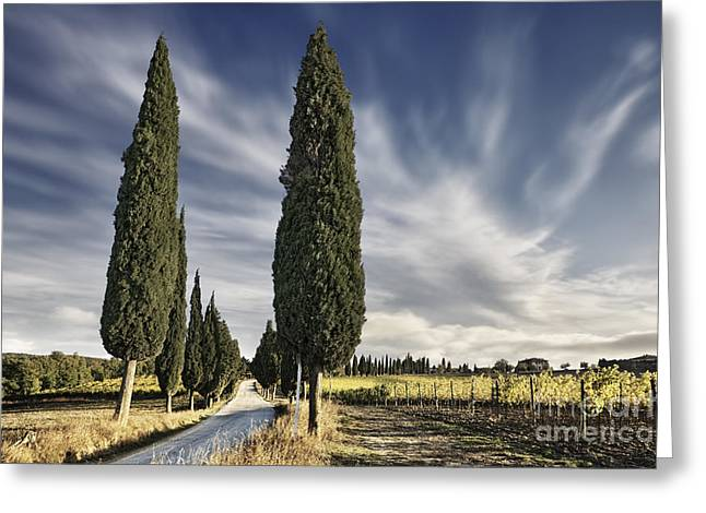 Cypress Trees - Tuscany Greeting Card