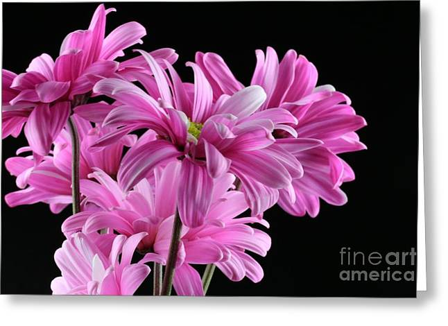 Bouquet Of Pink Colored Gerber Daisey Flower Greeting Card