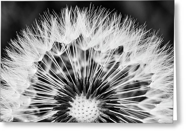 Dandelion Art In Black And White Greeting Card by Vishwanath Bhat
