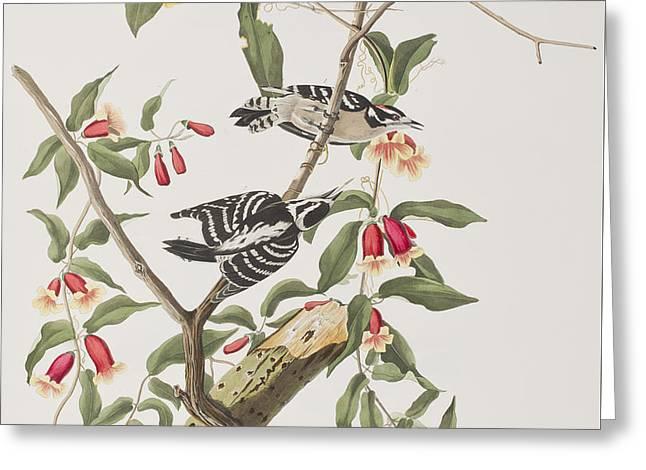 Downy Woodpecker Greeting Card by John James Audubon