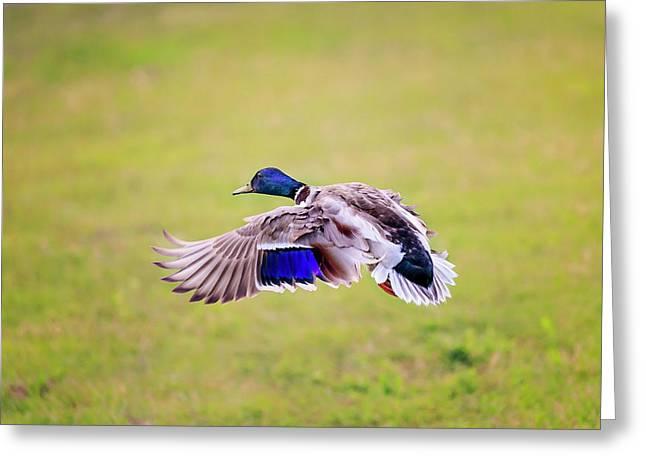 Duck-drake Greeting Card