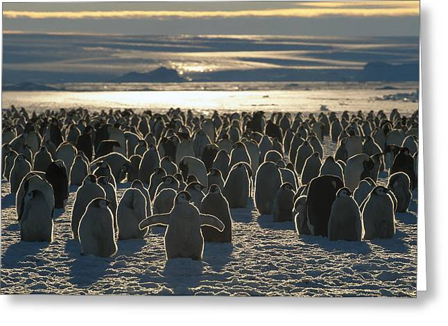 Emperor Penguin Aptenodytes Forsteri Greeting Card by Pete Oxford