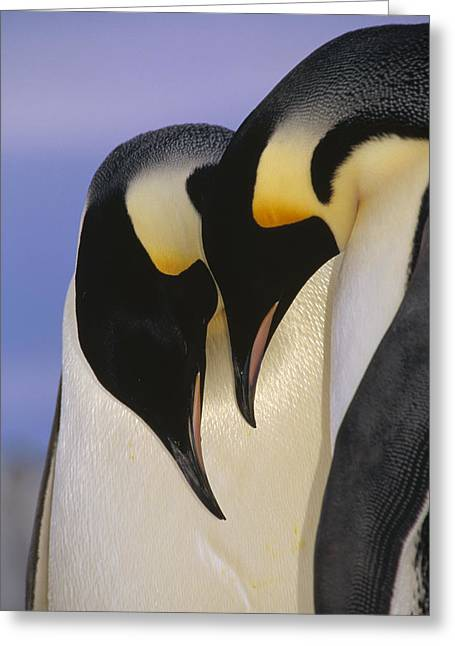 Emperor Penguin Aptenodytes Forsteri Greeting Card by Tui De Roy