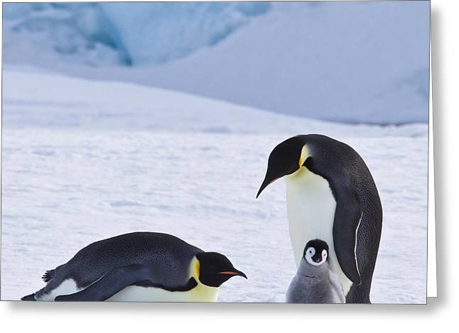 Emperor Penguins And Their Chick Greeting Card by Jean-Louis Klein & Marie-Luce Hubert