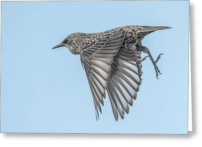 European Starling Greeting Card by Tam Ryan
