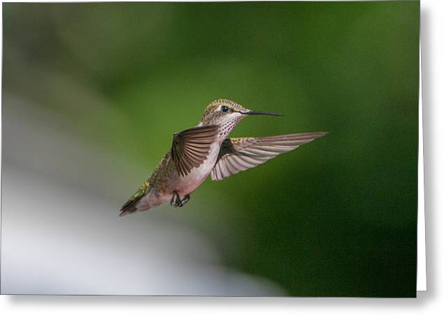Female Ruby Throated Hummingbird Greeting Card