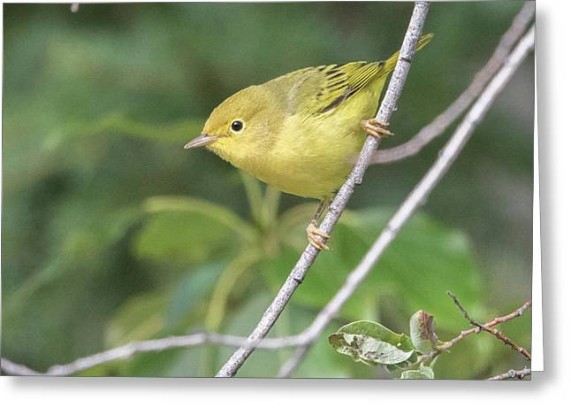 Female Yellow Warbler Greeting Card