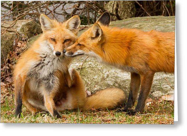 Foxes In Love Greeting Card by Brian Caldwell