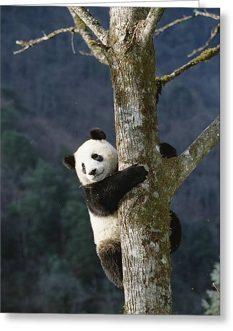 Wolong Nature Reserve Greeting Cards - Giant Panda Ailuropoda Melanoleuca Greeting Card by Konrad Wothe