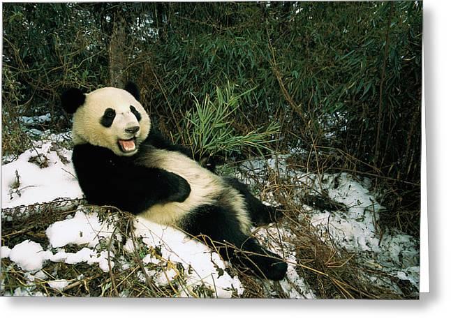 Giant Panda Ailuropoda Melanoleuca Greeting Card by Pete Oxford