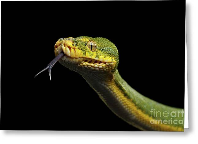 Green Tree Python. Morelia Viridis. Isolated Black Background Greeting Card