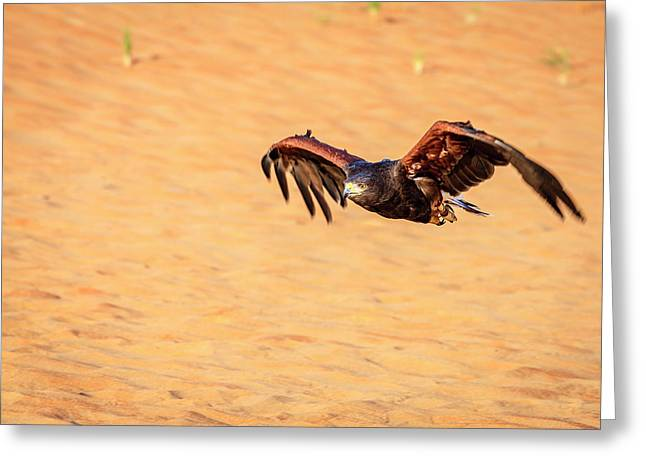 Greeting Card featuring the photograph Harris Hawk by Alexey Stiop