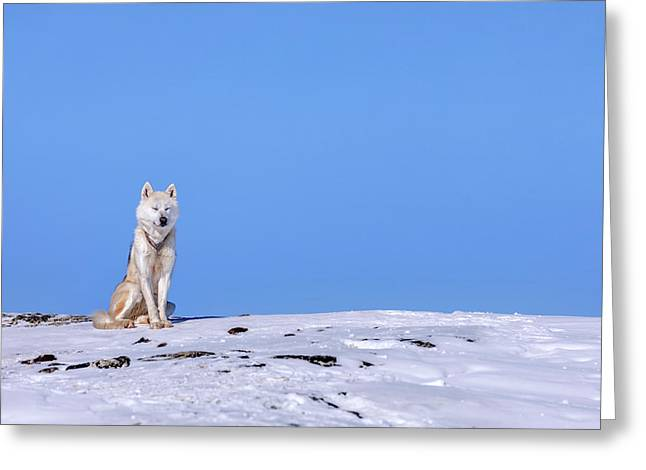 Huskies In Ilulissat, Greenland Greeting Card