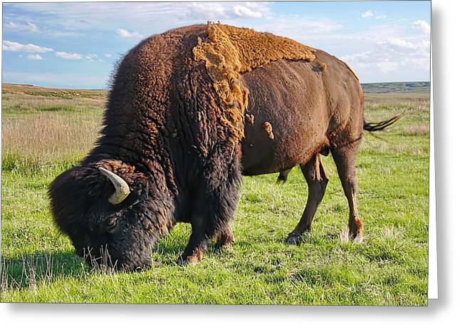 Kansas Buffalo Greeting Card by Alan Hutchins