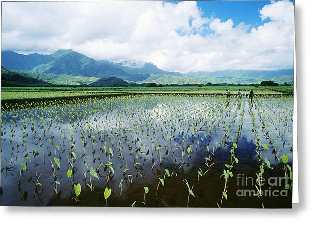 Kauai, Wet Taro Farm Greeting Card