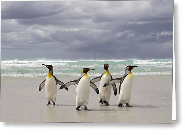 King Penguin Aptenodytes Patagonicus Greeting Card by Ingo Arndt