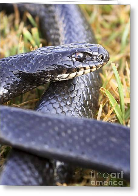 Large Whipsnake Coluber Jugularis Greeting Card