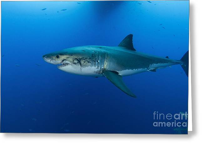 Male Great White Shark, Guadalupe Greeting Card by Todd Winner
