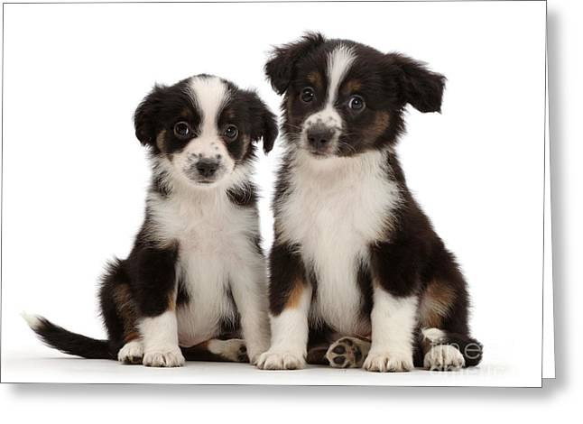 Mini American Shepherd Puppies Greeting Card by Mark Taylor