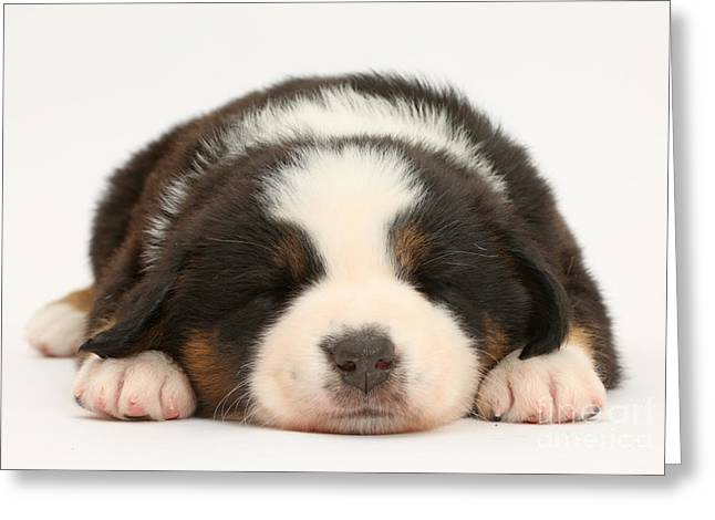 Mini American Shepherd Puppy Greeting Card by Mark Taylor
