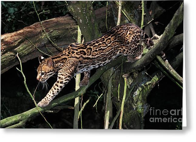 Ocelot Leopardus Pardalis Greeting Card by Gerard Lacz