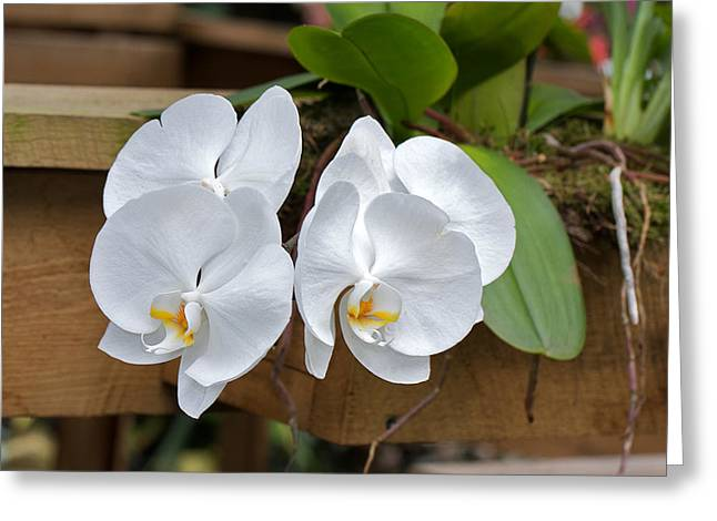 Orchid Greeting Card by Theo Tan