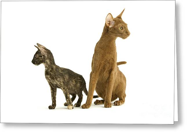 Oriental Cat And Kitten Greeting Card by Jean-Michel Labat