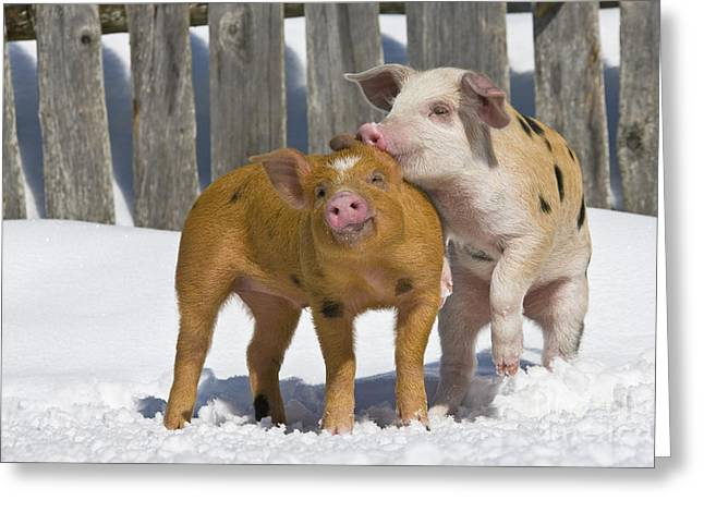 Piglets Playing In Snow Greeting Card
