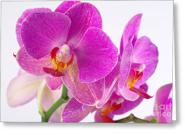 Greeting Card featuring the photograph Pink Orchid by Dariusz Gudowicz