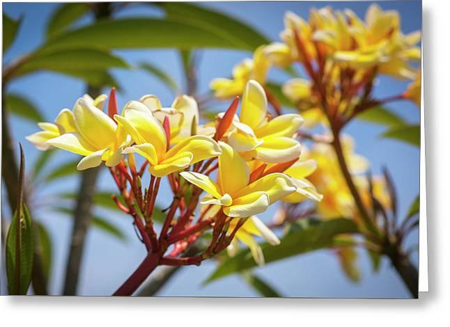Plumeria Frangipani Hawaiian Flower  Greeting Card