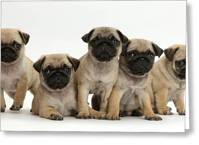 Pug Puppies Greeting Card by Mark Taylor
