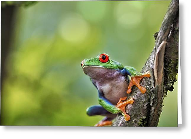 red eyed tree frog Costa Rica Greeting Card by Dirk Ercken