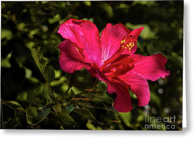 Greeting Card featuring the photograph Red Hibiscus by Robert Bales