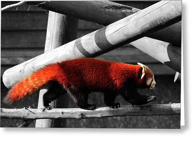 Red Panda Greeting Card by Martin Newman