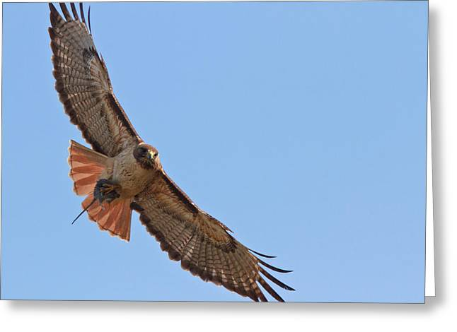 Red-tailed Hawk  Greeting Card by Carl Jackson