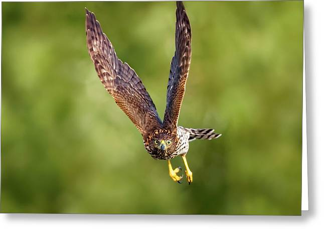 Greeting Card featuring the photograph Red-tailed Hawk by Peter Lakomy