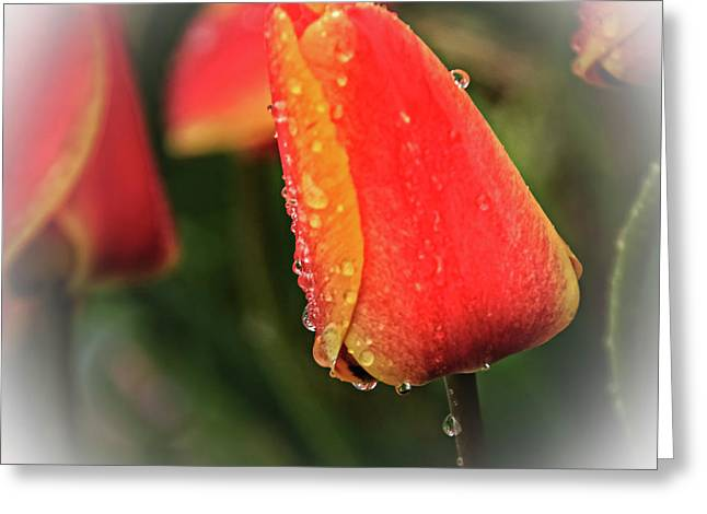 Greeting Card featuring the photograph Red Tulip  by Robert Bales