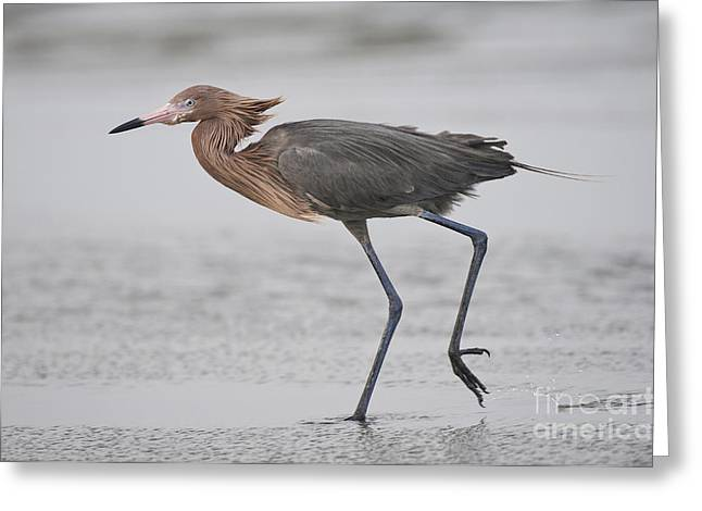 Reddish Egret Greeting Card by Anthony Mercieca