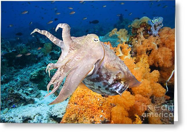 Reef Squid Greeting Card