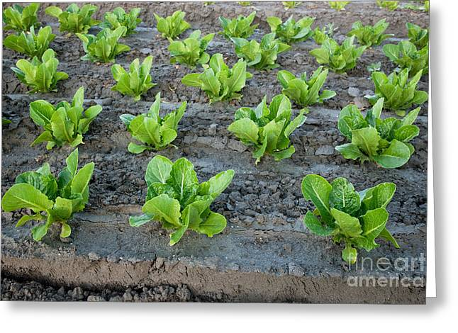 Romaine Lettuce Greeting Card by Inga Spence