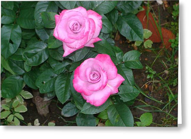 Paradise Rose Greeting Card