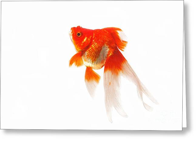 Ryukin Goldfish Carassius Auratus Greeting Card by Gerard Lacz