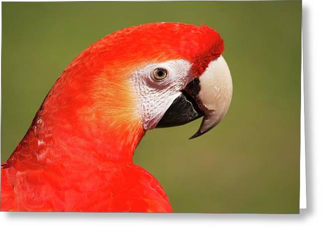 Scarlet Macaw Greeting Card by Uwe Gernhoefer