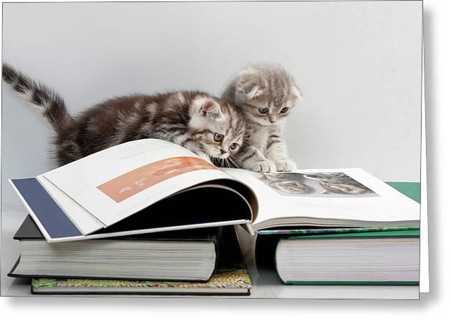 Scottish Fold Cats Greeting Card