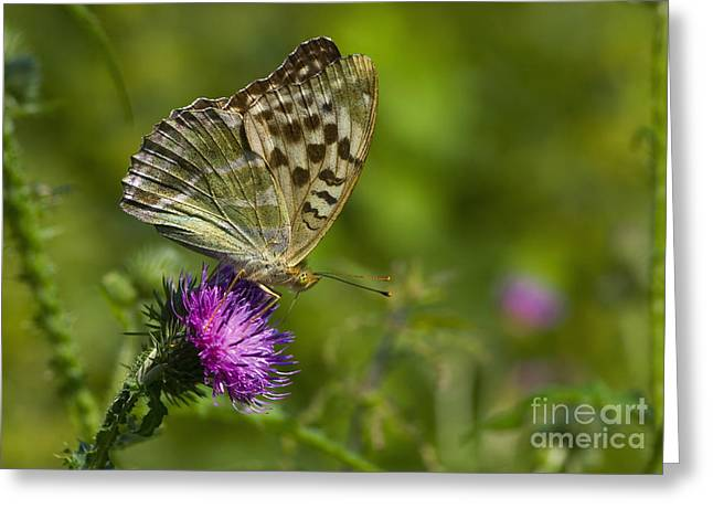 Silver-washed Fritillary Greeting Card by Steen Drozd Lund