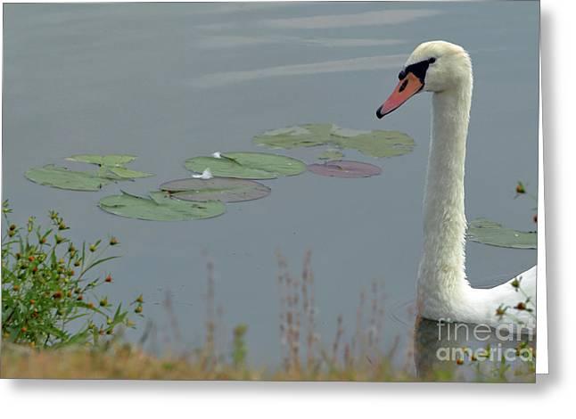 Spring Lake Fish And Wildlife Area - Trumpeter Swan - Cygnus Buc Greeting Card